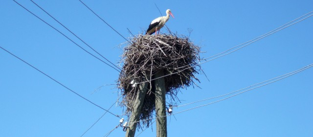 Lettland. Storkbo pa telefonstolpe